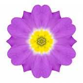 Purple Kaleidoscopic Primrose Flower Mandala Isolated On White