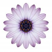 image of kaleidoscope  - Osteospermum Daisy Kaleidoscopic Flower Mandala Isolated on White Background - JPG