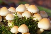 changeable pholiota - macro shot