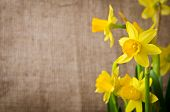 Beautiful Yellow Daffodils  On Burlap Background