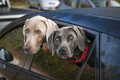 Two weimaraner dogs looking out of car window in parking lot
