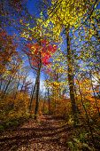 Autumn trees with colorful leaves in fall forest and hiking trail at Algonquin Park, Ontario, Canada