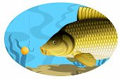 Common carp catching on bait