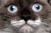 closeup portrait siamese cat with blue eyes