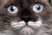 closeup portrait siamese cat with blue eyes