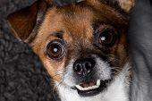 closeup portrait crossbreed dog pekingese pinscher