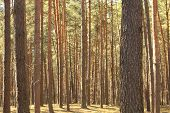 Beautiful summer pine forest scenery