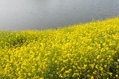 Flowering Field Mustard At The River Banks