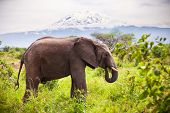 Large adult elephant with a snow covered Mount Kilimanjaro in the background. Tanzania.