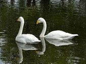 Pair of Swimming Swans