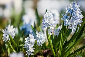 spring flowers scilla siberica (also known as siberian squill or wood squill)