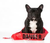 french bulldog wrapped in danger tape