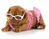 dogue de bordeaux wearing pink bikini and glasses
