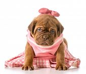 female puppy - dogue de bordeaux - four weeks old
