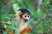 Squirrel Monkey Peeking Bewteen The Trees