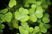 Clovers close up. Valley of Aspe, Pyrenees, France
