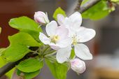 Apple Blossoms In Spring On White Background. Soft Focus