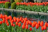 Tulip Garden And Pond