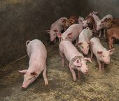 foto of piglet  - piglets at farm - JPG