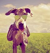 a great dane with a back pack and aviator sunglasses on done with a retro vintage instagram filter