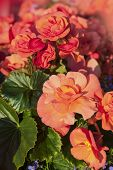 A variety of  begonias with abundant orange flowers grown in planters and window boxes.