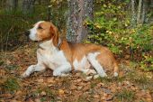 pic of foxhound  - Dog hound resting on fallen leaves in the autumn forest - JPG