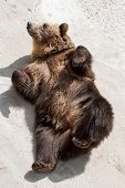 Young Brown Bear (ursus Arctos Arctos) Lying On The Ground