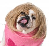 stock photo of wig  - female bulldog wearing wig and licking lips - JPG