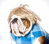 english bulldog wearing blue coat and blonde wig