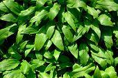 Ramson Or Wild Garlic (lat. Allium Ursinum)