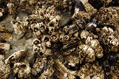 stock photo of tide  - Barnacles and mussels exposed on sea rocks during low tide on an Oregon beach near Otter Rock - JPG