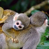 Baby Squirrel Monkey On The Back Of His Mom