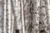 Birch Trunks
