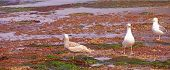 Gulls Forage In Tide Pools