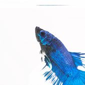 stock photo of siamese fighting fish  - Siamese fighting fish isolated in white background - JPG