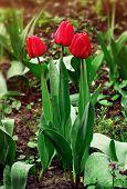 Trio Tulips In Drops After Rain In Springtime