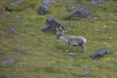 pic of evolve  - The Svalbard reindeer from Svalbard is very small compared to other subspecies. The Svalbard reindeer which seems to have evolved from large European reindeer. ** Note: Soft Focus at 100%, best at smaller sizes - JPG