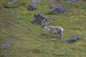 Arctic Reindeer in Edgeoya, Svalbard