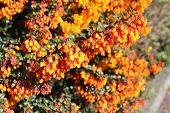 Berberis or barberry bush with orange flowers