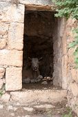 A Cow Inside Old Ruins