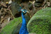 Male Indian Peafowl (pavo Cristatus)