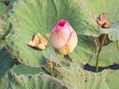 Pink Waterlily Or Lotus Flower In Pond