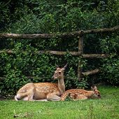 The Fallow Deer - Cub With Mother