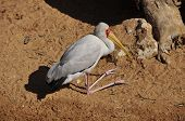 foto of omnivore  - A large scavenging and omnivorous bird found all over Asia - JPG