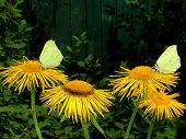 foto of winged-horse  - Two brimstones are sitting on the horse-heals. ** Note: Shallow depth of field - JPG