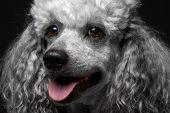 close-up portrait poodle