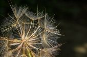 Macro View Of Some Dandelion Seeds.
