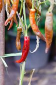 image of dead plant  - close up red chilli pepper plant dead - JPG
