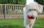 Labradoodle Carrying Ball Action