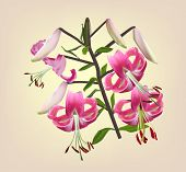 illustration with lily flower on light background